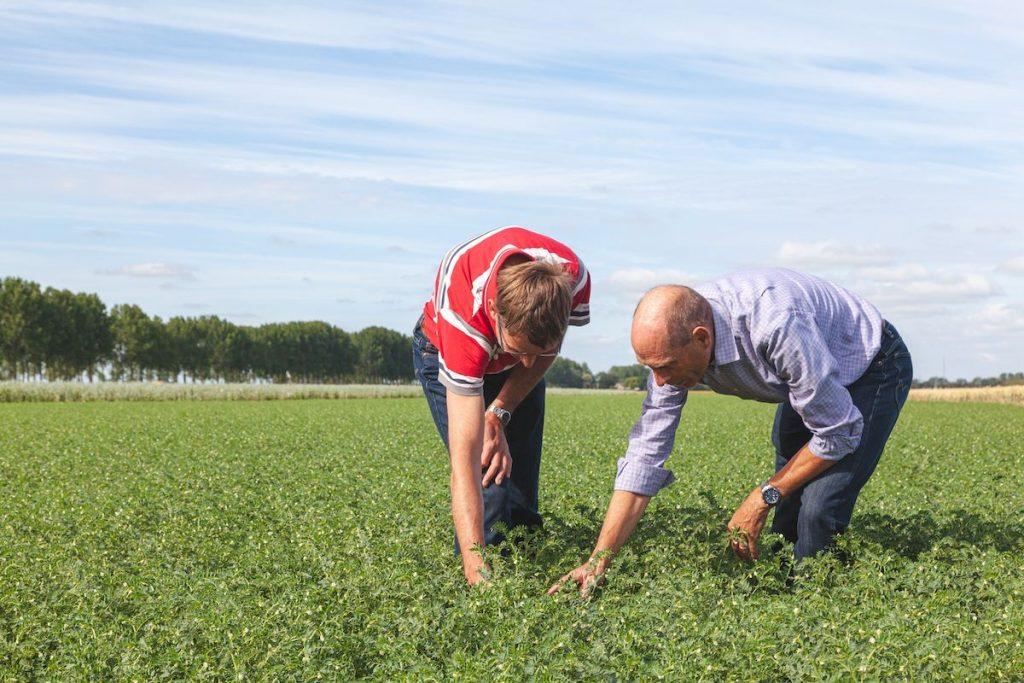 Pieter Risseeuw in veld met Nederlandse kikkererwten.