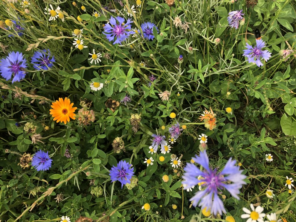 NLVL-Wilderland-onkruiden-bloei