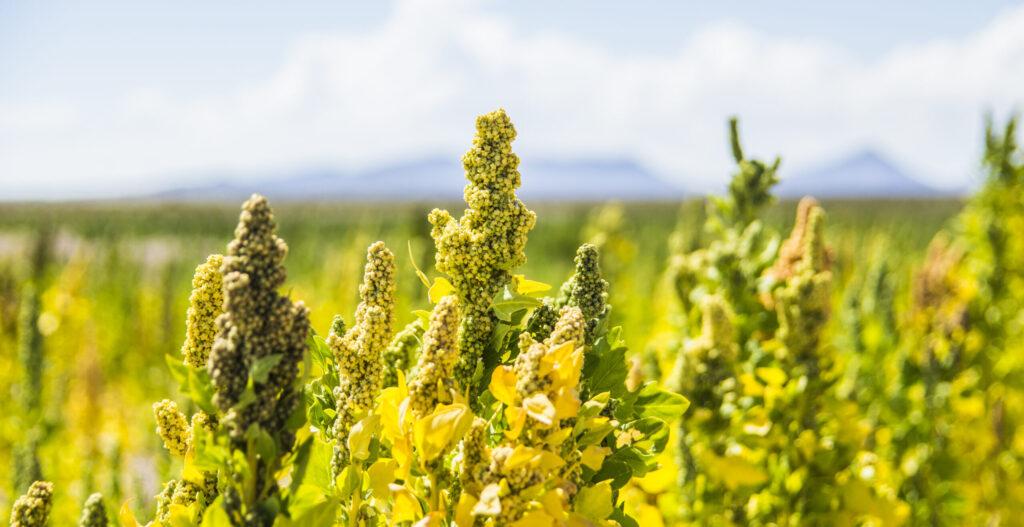 Lokale productie quinoa voedsel transitie
